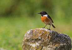 A male Stonechat on the stone. A male Stonechat prepairing for bath near the puddle in Bulgaria Royalty Free Stock Image