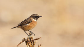 Male Stonechat on Thistle. Male stonechat (Saxicola rubicola) is perching on thistle, 4K ready Royalty Free Stock Image