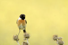 Male Stonechat. A male Stonechat on a thistle in spring Royalty Free Stock Images