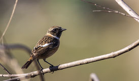 Male Stonechat on Tree Branch Royalty Free Stock Photos