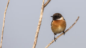 Male Stonechat on Tree Branch Royalty Free Stock Image