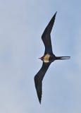 Storartad frigatebird Fotografering för Bildbyråer