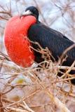 Male storartade Frigatebird Royaltyfri Bild