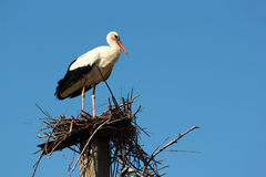Male stork in the nest.  Royalty Free Stock Photos