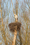 Male Stork on a nest Royalty Free Stock Photos