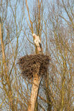 Male Stork on a nest. Male White Stork  Ciconia ciconia Standing on the edge of his refurbished nest waiting for a partner in the warm light of Sunrise of a Royalty Free Stock Images