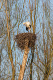 Male Stork on a nest. Male White Stork  Ciconia ciconia Standing on the edge of his refurbished nest waiting for a partner in the warm light of Sunrise of a Stock Images