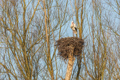 Male Stork on a nest. Male White Stork  Ciconia ciconia Standing on the edge of his refurbished nest waiting for a partner in the warm light of Sunrise of a Royalty Free Stock Photos