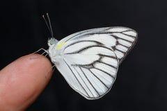 Male of stripped albatross butterfly. Memale of stripped albatross butterfly on finger Stock Image