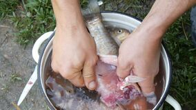 Male strong hands of a fisherman cleans freshly caught live fish opens the stomach and takes out the guts and caviar