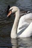 male stum swan Arkivbilder