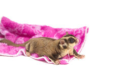Male sugar-glider on isolate. Lovely pet Stock Photo