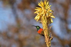 Male Sugarbird. Walter Sisulu National Botanical Garden. Female sugar bird on a aloe flower. Its prime source of sustenance is the nectar from flowers like Stock Photos