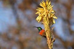 Male Sugarbird. Walter Sisulu National Botanical Garden Stock Photos