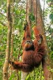 Male Sumatran orangutan hanging in trees in Gunung Leuser Nation Royalty Free Stock Images