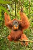 Male Sumatran orangutan Pongo abelii sitting on a bamboo in Gu. Nung Leuser National Park, Sumatra, Indonesia. Sumatran orangutan is endemic to the north of Stock Photos