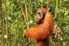 Male Sumatran orangutan standing on the ground in Gunung Leuser Stock Photography