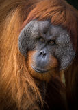 Male Sumatran Orangutan portrait. Kluet is a Sumatran Orangutan who lives at the Adelaide Zoo in Adelaide, South Australia, where he serves as an excellent Stock Photography