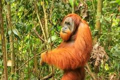 Male Sumatran orangutan standing on the ground in Gunung Leuser. Male Sumatran orangutan Pongo abelii standing on the ground in Gunung Leuser National Park Royalty Free Stock Images