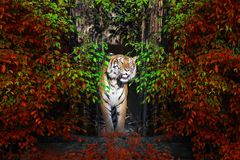 The male Sumatran tiger. stock photography