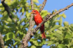 Male Summer Tanager (Piranga rubra) Royalty Free Stock Image
