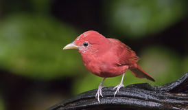 Male Summer Tanager Piranga rubra Stock Images