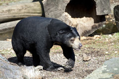 Male Sun Bear in the sunshine. Sun Bear (Helarctos malayanus) walking Stock Images