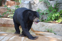 MALE SUN BEAR. A male sun bear walks near his pool of water Stock Photography