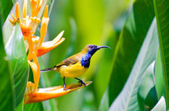 Male sunbird. Perch on heliconia flower amongst its dense large leaves Stock Photo