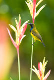 Male Sunbird Royalty Free Stock Photos