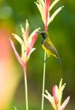 Male Sunbird Royalty Free Stock Photos