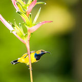 Male Sunbird. Male olive backed sunbird perch on the stalk of a heliconia flower Stock Photo