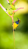Male Sunbird. Male olive backed sunbird perch on the stalk of a heliconia flower Royalty Free Stock Photo