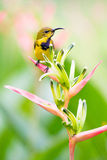 Male Sunbird Atop Helicionia Inflorescence. Male sunbird with its distinctive metallic blue breast perched at the top of a heliconia flower inflorescence Stock Image
