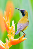 Male Sunbird Perched on Heliconia Flower. Male sunbird with its distinctive metallic blue breast perched on a heliconia flower fending off rivals Stock Images