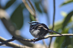Male superb fairy wren Royalty Free Stock Photography