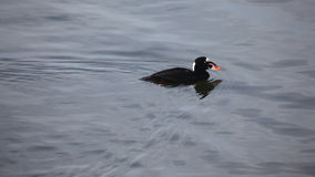 A male Surf Scoter dives for food stock video