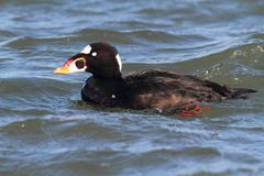 Male Surf Scoter (Melanitta perspicillata) Royalty Free Stock Images