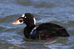 Male Surf Scoter (Melanitta perspicillata) Royalty Free Stock Photo