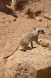 Male Suricate on a rock. Photo of a male Suricate climbing on a rock Royalty Free Stock Image