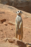 Male Suricate standing. Photo of a male suricate (meerkat) standing Royalty Free Stock Images