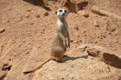 Male Suricate standing. Photo of a male Suricate standing in the sand Stock Images