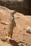 Male Suricate standing. Photo of a male Suricate standing in the sand Royalty Free Stock Photos