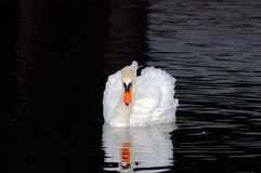 Male swan. A male swan swimming on a little lake in the late afternoon. France Royalty Free Stock Photography
