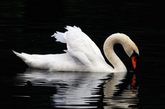 male swan Royaltyfri Bild
