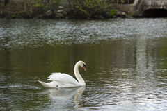Male Swan (Cob) Busking. A male mute swan moves along the water of the green river in defensive/territorial display, wings up, head pointed down, the Royalty Free Stock Photography