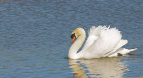 Male Swan. (Cob) swimming with reflection for a peace or love concept Royalty Free Stock Photo