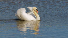 Male Swan. (Cob) swimming with reflection for a peace or love concept Stock Photo