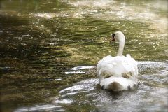 A male swan floats gracefully across a shimmering sunlit lake. Beautiful Mute Swan Cygnus olor swimming on a lake with sunlight shimmering on the water - with Stock Photos