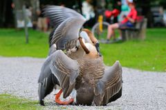 Male Swan goose in fight. In bavaria Royalty Free Stock Image